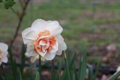 Цветки персика Стоковое фото RF
