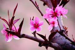 Цветки персика стоковые фотографии rf