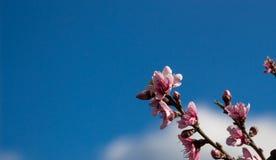 Цветки персика Стоковые Фото