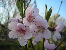 Цветки персикового дерева just rained Украина Стоковая Фотография RF