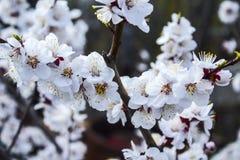 Цветки, персиковое дерево, весна, импульс души, лепестков дерева, природы Стоковая Фотография RF