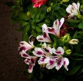 Цветки петуньи в саде Стоковое Изображение