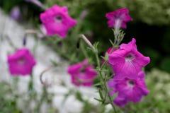 Цветки петуньи в саде Стоковые Изображения RF