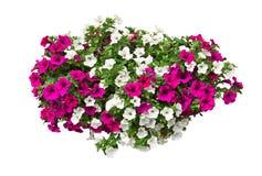 Цветки петуньи с путем клиппирования стоковое фото rf