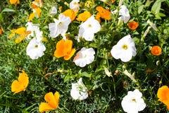 Цветки петуньи стоковая фотография