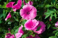 Цветки петуньи стоковое изображение rf