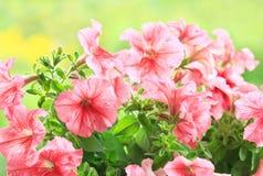 Цветки петуньи стоковая фотография rf