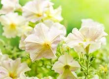 Цветки петуньи стоковые фото