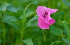Цветки петуньи Стоковое Изображение