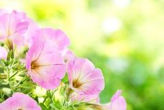 Цветки петуньи стоковое фото rf