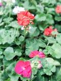 Цветки пеларгонии гераниума Стоковые Фото