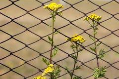 Цветки пижмы на поле Решетка загородки металла Стоковые Изображения