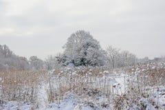 Цветки пижмы, обнаженные деревья зимы и кустарники предусматриванные в снеге во фламандской сельской местности стоковая фотография