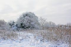 Цветки пижмы, обнаженные деревья зимы и кустарники предусматриванные в снеге во фламандской сельской местности стоковое изображение