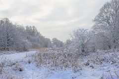 Цветки пижмы, обнаженные деревья зимы и кустарники предусматриванные в снеге во фламандской сельской местности стоковое изображение rf