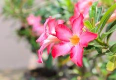 Цветки пинка азалии насмешки лилии Роза-импалы пустыни Стоковая Фотография RF