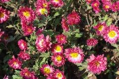 Цветки пинка и белых похожие на маргаритк хризантемы Стоковое Фото