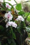 Цветки пинка и белых элегантные орхидеи Стоковые Фото