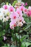Цветки пинка и белых элегантные орхидеи Стоковые Изображения RF