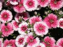 Цветки пинка и белых цветя гвоздики в саде Стоковое фото RF