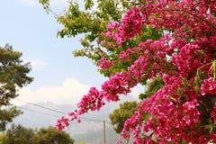 Цветки пинка Begonvil на улице Kemer Стоковое Изображение