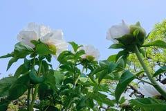 Цветки пиона Стоковые Фото