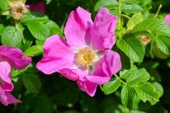 Цветки плода шиповника собак-Розы растя в природе Стоковые Изображения RF