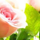 цветки подняли Стоковые Фотографии RF