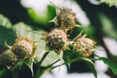 Цветки поленики закрывают вверх Стоковое Фото