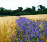 Цветки поля голубые случайно украсили поле желтой пшеницы Стоковые Изображения
