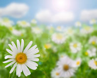 цветки поля маргаритки Стоковое Изображение RF