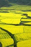 цветки поля насилуют весну Стоковое Изображение