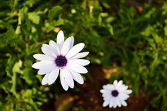 Цветки поля стоцвета закрывают вверх Красивая сцена природы с зацветая маргаритками на день солнца Маргаритка весны нетрадиционно стоковые изображения rf