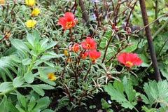 Цветки портулака в саде Стоковые Изображения