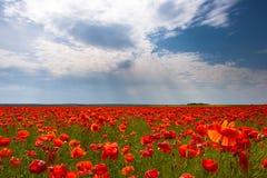 Цветки - поле красных маков Стоковые Изображения RF