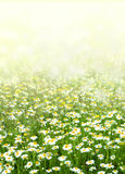 Цветки поля стоцвета Стоковое фото RF