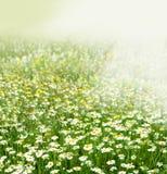 Цветки поля стоцвета Стоковые Изображения RF