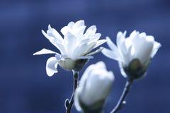 цветки предпосылки голубые белые Стоковая Фотография RF