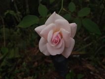 цветки предпосылки подняли стоковое фото rf