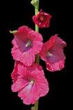 Цветки просвирника 3 Стоковые Изображения