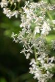Цветки прямого clematis белые - латинское имя - прямые кишки Clematis стоковые изображения rf