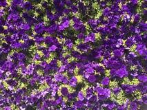 цветки пурпура зацветая Стоковые Фотографии RF