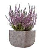 Цветки пурпурового вереска (Calluna vulgaris) Стоковые Фото