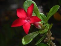 Цветки пустыни Розы Стоковые Изображения RF