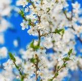 Цветки пчелы меда вишневого цвета весны зацветая Стоковое Изображение