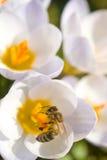 цветки пчелы мед Стоковые Фотографии RF