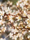 Цветки пчелы опыляя белые свежие на зацветая яблоне Стоковое Изображение