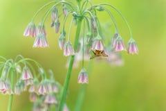 Цветки пчелы опыляя Стоковое Изображение
