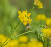 Цветки пчелы & трилистника Птиц-ноги стоковые изображения rf