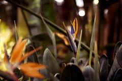 Цветки райской птицы, тропический конец-вверх цветка в ботаническом саде или природа Стоковая Фотография RF